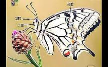 蝴蝶身体结构探秘(小学科学课堂教学优质课示范教学实录)
