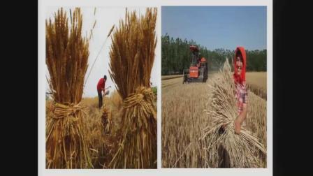 小学综合实践活动《地方特色农事》优质课教学视频3,安徽省